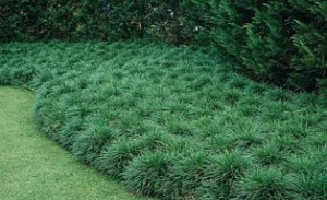 Ground Covers Instead of Turf Grass